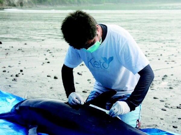 El biólogo José David Palacios toma las medidas a un delfín que encalló. | FUNDACIÓN KETO PARA LN.
