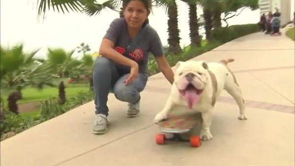 (Video) Perro bullgdog bate record Guinness en patineta
