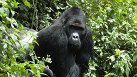 El gorila más grande del mundo está a un paso de la extinción