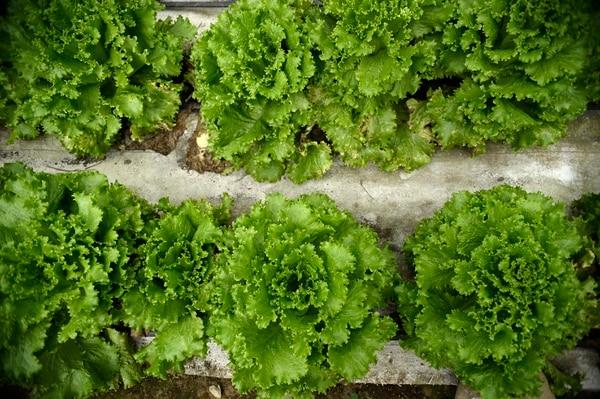Para que un producto sea certificado como orgánico deben cumplirse varias pautas en su cultivo y cosecha. Fotos de Diana Méndez
