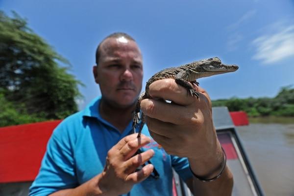 El Sinac realiza un estudio para determinar si hay sobrepoblación de cocodrilos en el río Tárcoles. En la imagen, Jason sostiene un reptil de menos de un mes de nacido. | FOTO: ALBERT MARÍN