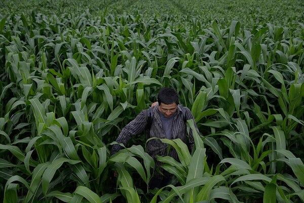 El alza de los precios del maíz, en marzo pasado, se vieron empujados por la combinación de una fuerte demanda mundial y el deterioro de las perspectivas de las cosechas en Argentina, según la FAO. En la imagen, Álvaro Marenco Ruiz trabaja en una plantación en Guanacaste. Foto: Albert Marín.