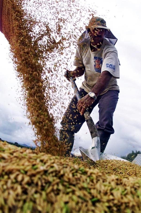 Costa Rica produce el 50% del arroz que se consume al mes. | ARCHIVO