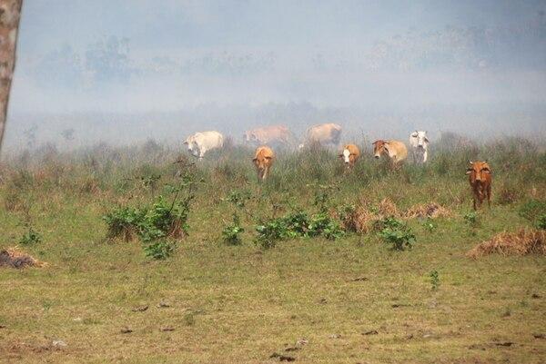 Unas 350 cabezas de ganado fueron sacadas del área de riesgo, mientras bomberos apagaban pequeños focos de fuego. | CARLOS HERNÁNDEZ