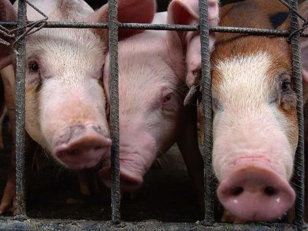El Servicio Nacional de Salud Animal estará en las negociaciones sobre la carne de cerdo. | ARCHIVO