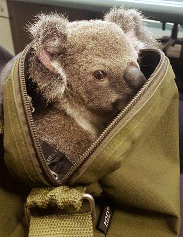 El bebé koala, de unos seis meses, estaba un poco deshidratado.