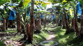 Prohibición de insecticida en Estados Unidos obliga a bananeros a sustituir su aplicación