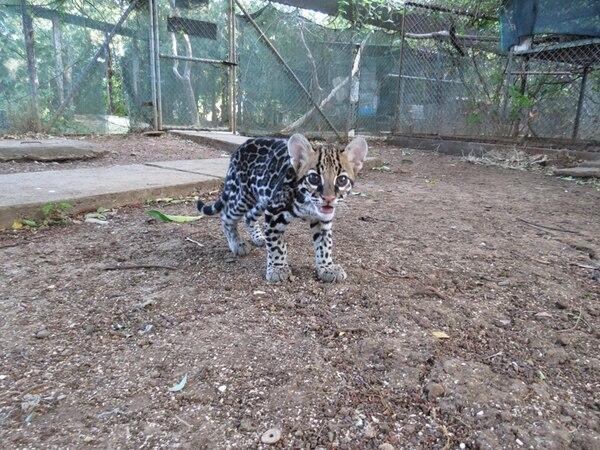 Gracias a una cirugía de cataratas, Nicoa dejó atrás la opacidad de los ojos. Según la veterinaria del centro de rescate Las Pumas, el felino mejoró su agudeza visual significativamente.   ESTHER POMAREDA PARA LN