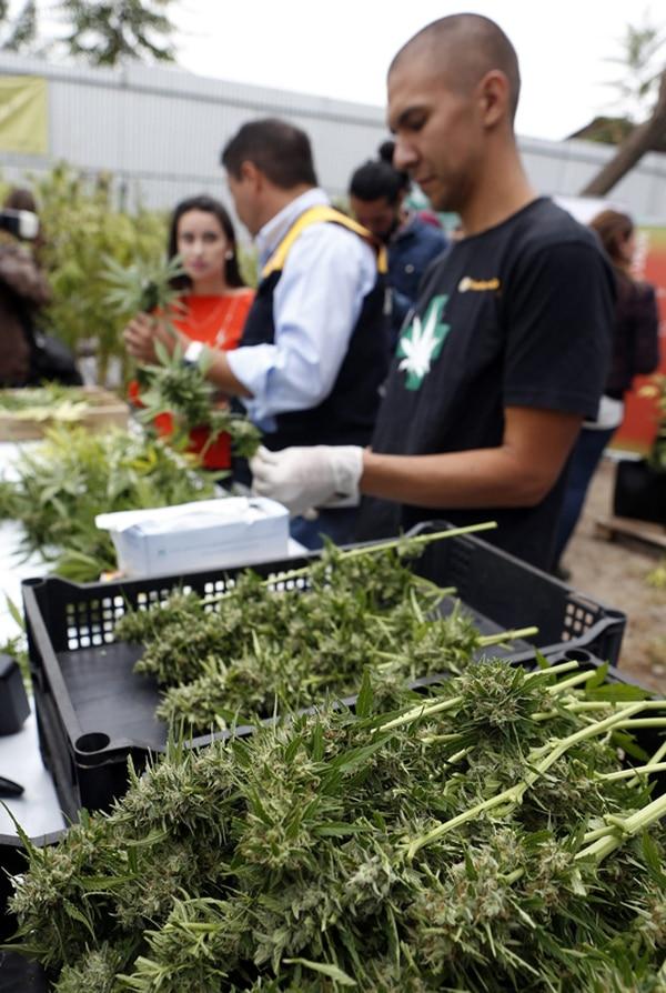 La plantación de marihuana tiene seis meses de cultivo.   EFE