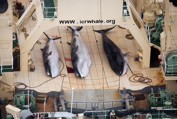 Esta imagen captada por la organización Sea Shepherd muestra 3 ballenas enanas o minke en una embarcación de origen japonés, Nisshin Maru. | AP
