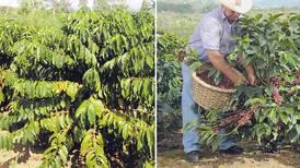 Cafetaleros tratan de revivir plan para cultivar variedad Robusta y generar empleo en zonas bajas