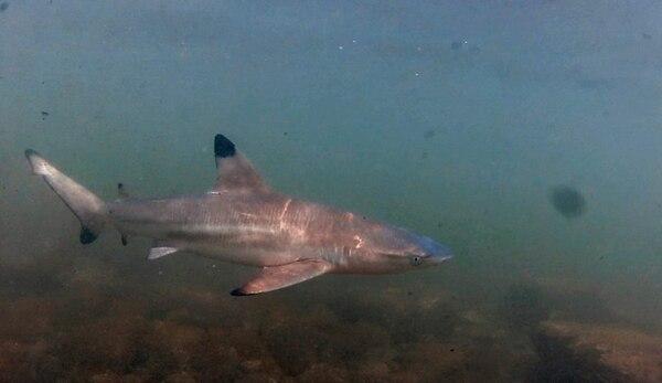 El tiburón punta negra de arrecife gusta de las aguas turbias, por eso es común verlo en las desembocaduras de ríos y fondos arenosos. Es usual verlo en bahía Wafer, en Isla del Coco. | CORTESÍA DE CARLOS HILLER