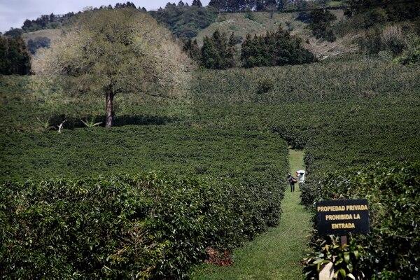 Pese a que el área sembrada de café cayó un 4% en el 2018, ese producto es el que tiene más extensión en el país entre los culrivos anuales. Aquí una plantación en Sabanilla de Alajuela. Foto: John Durán