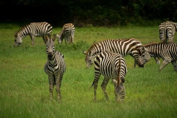 Imagen de setiembre de cebras en el Parque de Aventuras Ponderosa localizado en Liberia (Guanacaste) / Fotografía: Parque de Aventuras Ponderosa