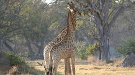 Población de jirafas del norte decayó 40% en 30 años