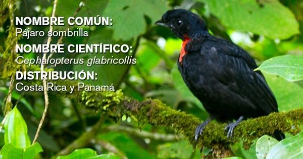 En Rainforest Adventures, más conocido como teleférico del Atlántico, se pueden observar 371 especies de aves. Entre ellas está el pájaro sombrilla.