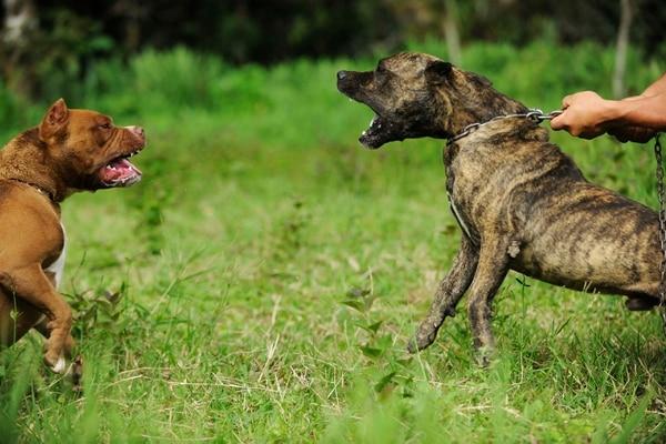 las peleas de perros son una actividad ilegal en la que dos perros a menudo sufren lesiones que amenazan su vida.