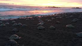 Autoridades de Ostional denuncian 'fakenews' sobre arribo masivo de tortugas