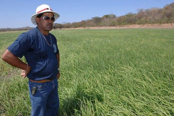 Los arroceros celebraron la reducción en las primas que les cobra el INS por asegurar sus cosechas. Sin embargo, el sector considera que a futuro el Estado debe subsidiar el costo de dichas primas.