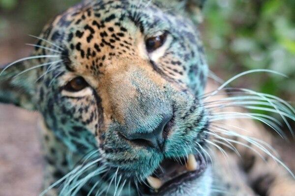 Curubanda es una hembra de felino que reside en el centro de rescate Las Pumas en Guanacaste y es una entusiasta pintora.