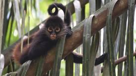 Investigación 'dará voz' a los monos araña para luchar contra su extinción