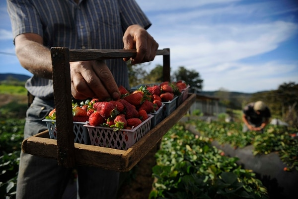 Las fresas son el producto estrella de los 25 que tiene Isidro Gómez en su huerto familiar comercial, en La Cima de Dota. El obtiene un 20% de pago por ser alimento orgánico. | EYLEEN VARGAS