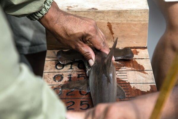 """El Parque Galápagos lleva años monitoreando sitios de crianza y """"marcando"""" a centenares de tiburones, una especie sagrada en esta reserva marina de 138.000 km2 -la segunda más grande del mundo-, declarada Patrimonio Natural de la Humanidad. / AFP PHOTO / Pablo COZZAGLIO"""