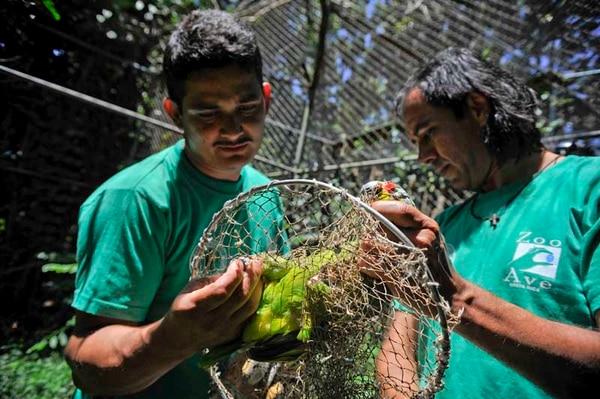 En la foto, Ronald Sibaja (derecha), experto en rapaces, y Fernando Díaz, funcionario de Zoo Ave, buscan loras que ya están aptas para ser reintegradas a la naturaleza.