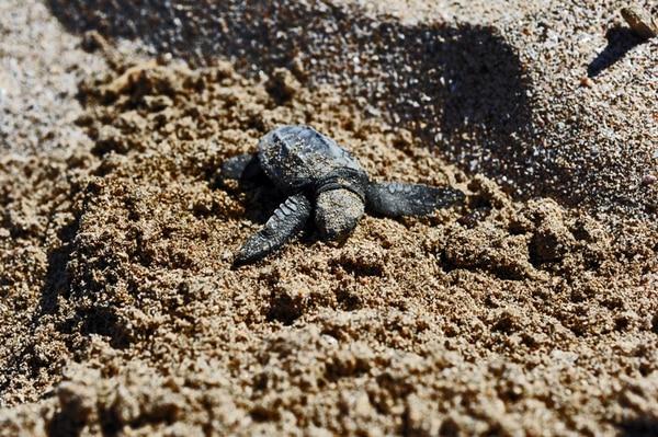 Aparte de la baula ( Dermochelys coriacea ), otras tortugas marinas –como la lora ( Lepidochelys olivacea )– podrían estar utilizando parte del domo, principalmente cuando en cierta época este se acerca a la costa.   ALONSO TENORIO