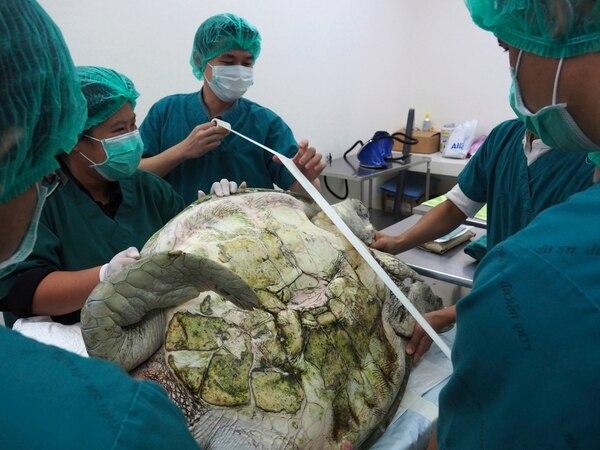 Los veterinarios duraron siete horas en extraer 915 monedas del estómago de la tortuga.