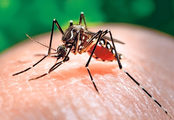 El dengue es transmitido por el mosquito Aedes aegypti . La enfermedad causa fiebre, debilidad, malestar general y fatiga. | ARCHIVO