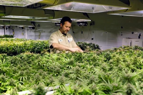 Un hombre vigilaba un cultivo de marihuana en Denver, Colorado, el pasado 5 de diciembre. | AP.