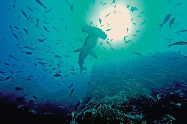 Las poblaciones globales de tiburones han caído un 90% Una de las causas de la disminución es el aleteo. | CORTESÍA DE MARVIVA