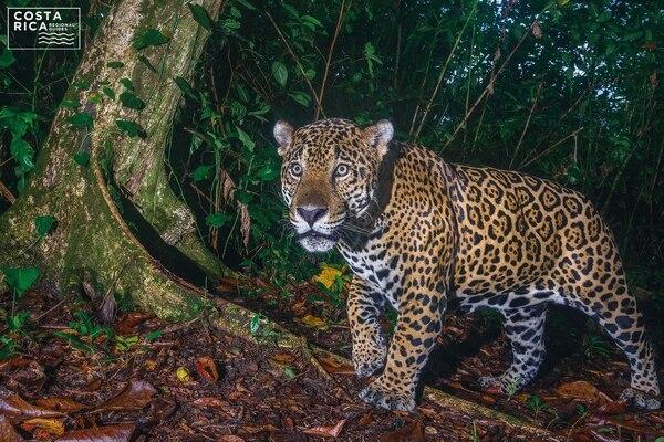 La temporada de desove de la tortuga verde, es un imán que atrae a decenas de jaguares desde las llanuras caribeñas. En la imagen, un individuo captado por medio de cámara trampa. Cortesía: Ojalá Ediciones