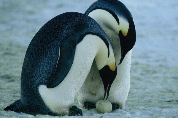 Un estudio de 2015 del Pew Charitable Trust, una organización estadounidense, afirma que las dos terceras partes de las 18 especies de pingüinos del planeta, de las Galápagos hasta la Antártida, están en declive.