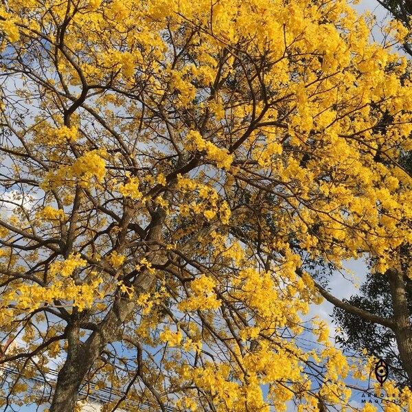 Entre marzo y abril se puede apreciar la floración del árbol corteza amarilla.