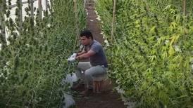 Ensayos con cáñamo industrial entran en fase de cosecha en Costa Rica