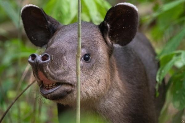 La danta que habita de Costa Rica vive tanto en zonas bajas (Guanacaste, Parque Nacional Corcovado) como en zonas altas, como el Cerro de la Muerte. Este animal apasiona a los biólogos por su rareza, actualmente se registran 6.000 especímenes en Centroamérica. Cortesía de Nick Hawkins.