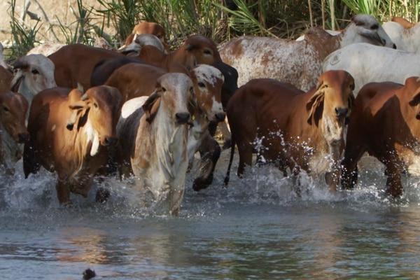 Algunos productos agropecuarios tienen oportunidad en China, ante el fuerte aumento en la capacidad de consumo y los cambios en la demanda. Por ejemplo, el valor de la exportación costarricense de carne bovina a aquel país subió un 46% el año pasado con respecto al 2017. Foto: Carlos Hernández.