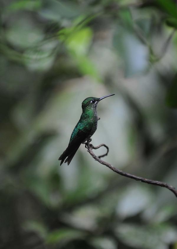 El colibrí es una de las aves que visitan la reserva de Monteverde, en Costa Rica.