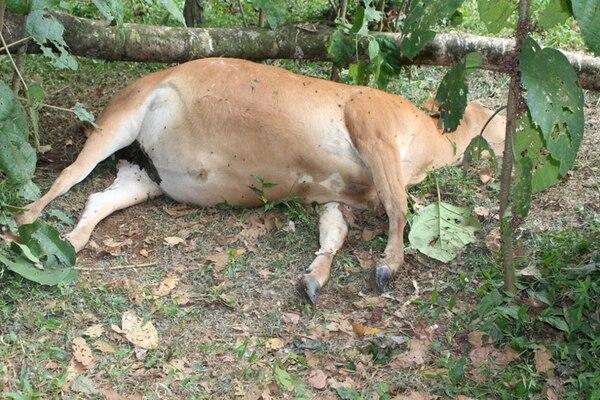 Esta es una de las vacas que fue encontrada muerta ayer en medio de una finca, en Pocosol de San Carlos. | CARLOS HERNÁNDEZ