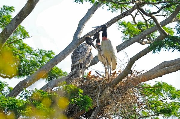 Estos son jabirús ( Jabiru mycteria ) que cuidan a sus pichones en un nido ubicado cerca del sector conocido como Catalina. | MAYELA LÓPEZ