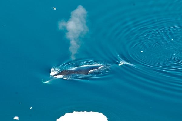 A las ballenas boreales también se les conoce como ballenas de Groenlandia. (Kit M. Kovacs, Christian Lydersen/Norwegian Polar Institute via AP)