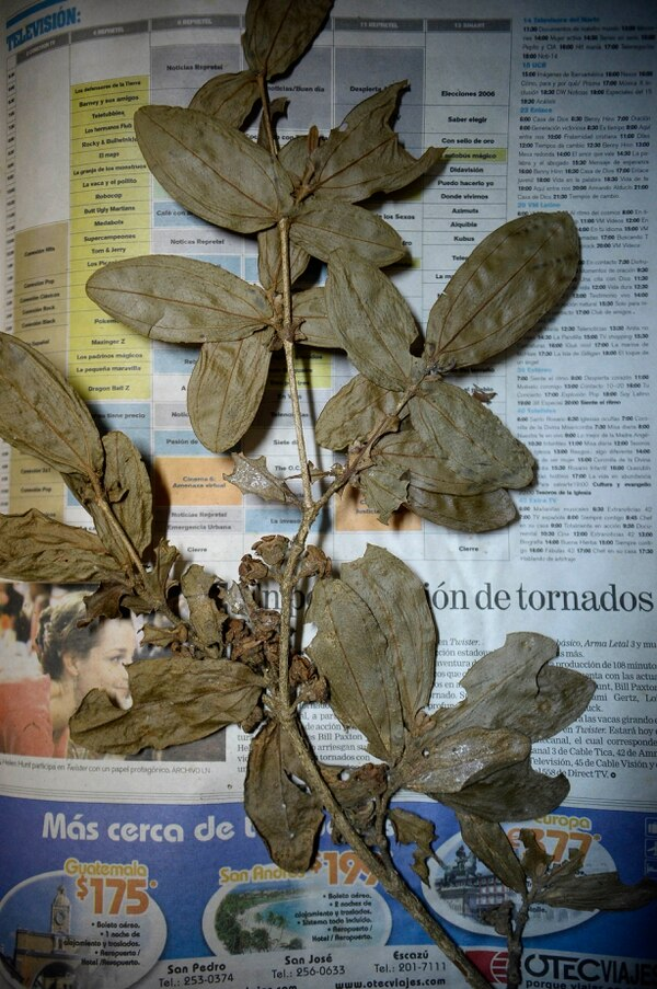 Las plantas, hongos y líquenes que eran propiedad del INBio también son custodiadas por el Museo Nacional. En esta colección también se encuentran ejemplares recopilados por este ente cultural. Foto de: Diana Méndez.