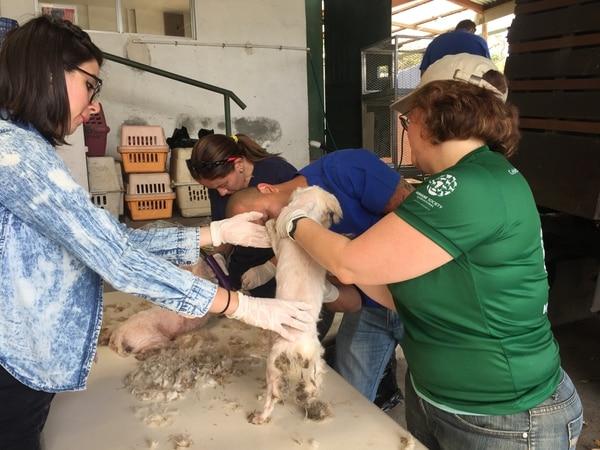 La Asociación Humanitaria para la Protección Animal asistió a las mascotas con atención veterinaria, limpieza de dientes, baños, tratamiento del pelaje de las lesiones en la piel, vacunación y desparasitación.